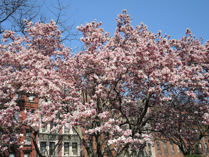Magnolia tree in bloom in NYC